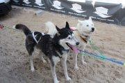 Husky beim nördlichsten Schlittenhunderennen Deutschlands